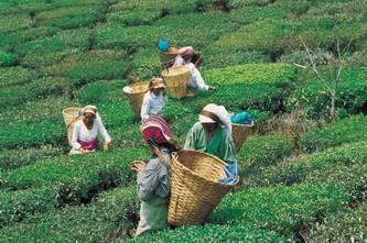 zpracování čaje